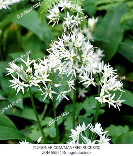 Baerlauch, Allium, ursinum, Zwiebelpflanze, Wildkraeuter, Wildgemuese