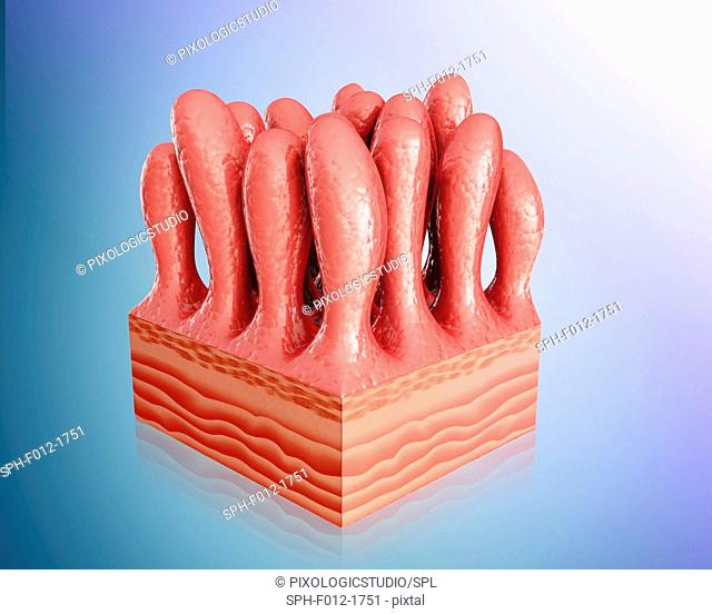 Small intestine wall, illustration