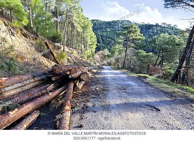 Trunks at Road to Casavieja in the Sierra de Gredos. Avila. Spain