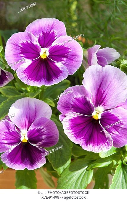 Three pansy flowers, Viola X Wittrockiana