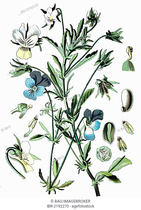 Heartsease or Wild Pansy (Viola tricolor), crop, useful plant, medicinal plant, historical chromolithography, about 1870