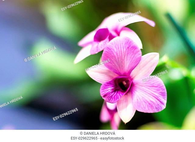 Flower – Orchid