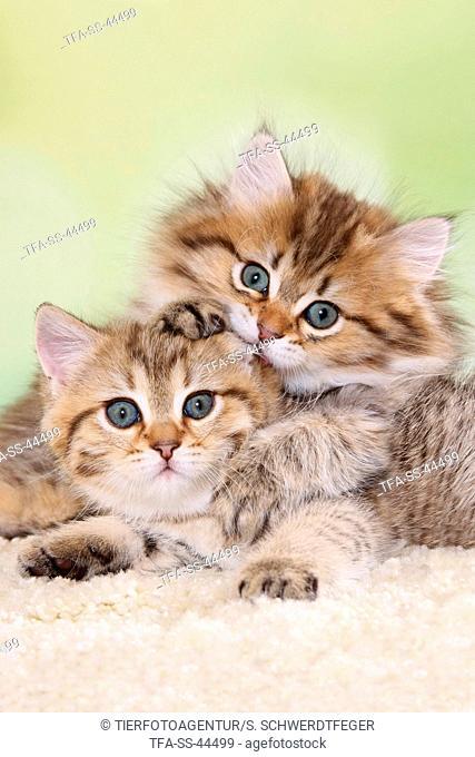 Highlander and British Shorthair Kitten