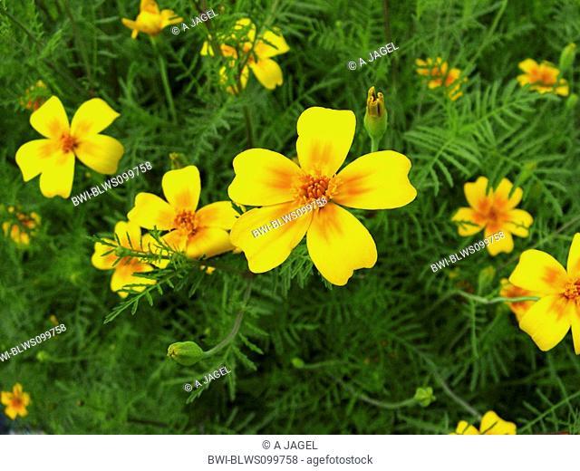 Lemon marigold, Signet marigold Tagetes tenuifolia, Tagetes signata, blooming