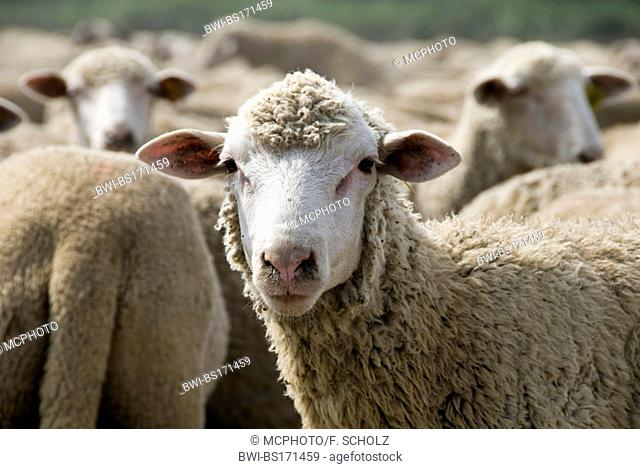 domestic sheep (Ovis ammon f. aries), herd of sheep, France, Camargue