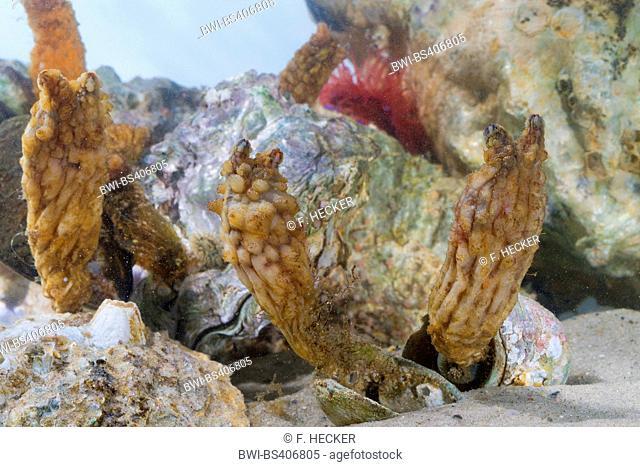 Stalked Sea Squirt, Asian sea squirt, rough sea squirt, leathery sea squirt, folded sea squirt (Styela clava), colony