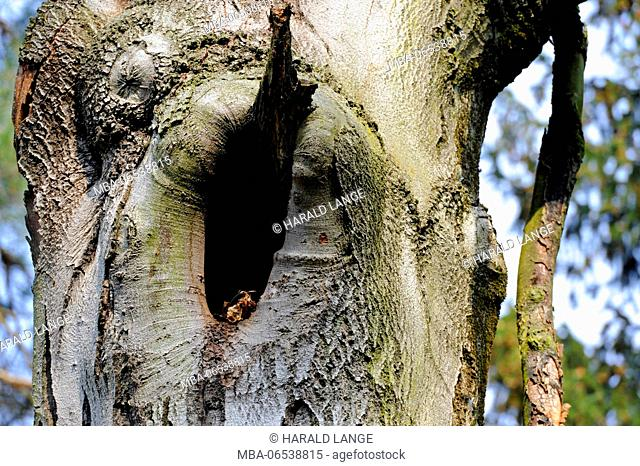 Tree hole in the trunk of an old copper beech