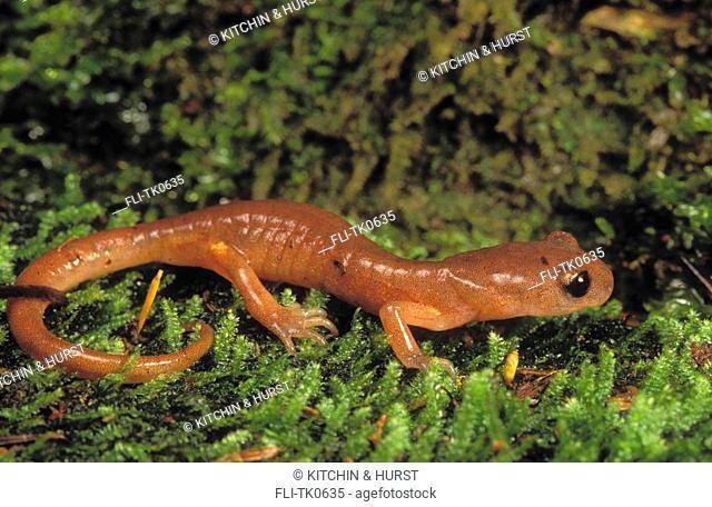 Oregon Salamander British Columbia to Mexico Ensatina escholtzii oregonensis