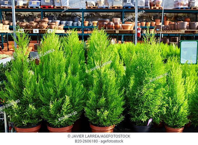 Monterey Cypress (Cupressus macrocarpa Goldcrest). Garden center. Hondarribia. Gipuzkoa. Basque Country. Spain