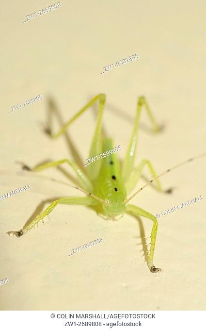 Katydid (aka Bush Cricket) (Ortoptera order, Tettigoniidae family), Klungkung, Bali, Indonesia