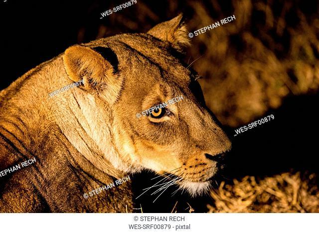 Botswana, Tuli Block, portrait of lioness