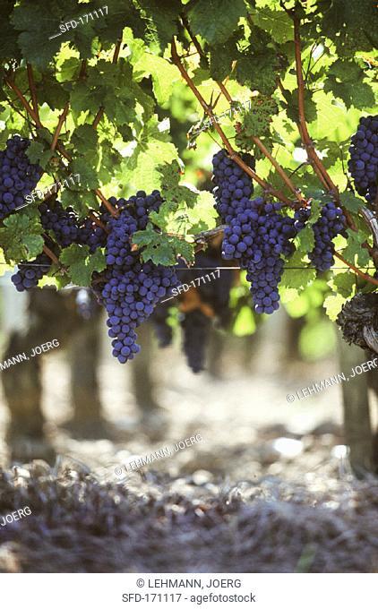 Cabernet Sauvignon on the vine, Pomerol, France (1)