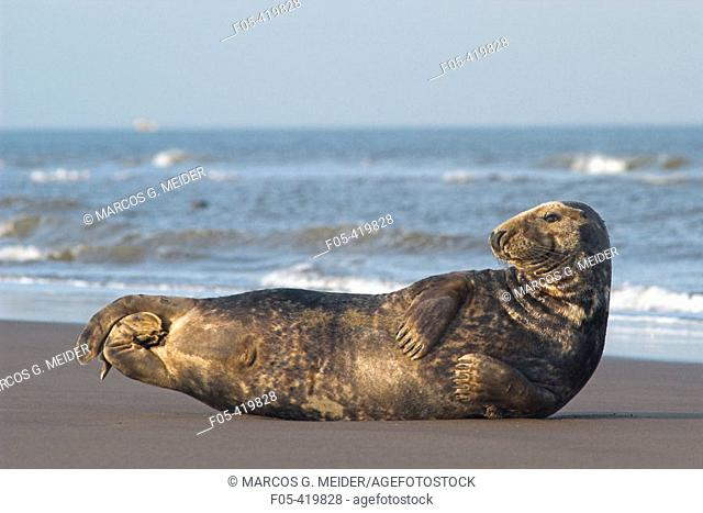 Grey Seal (Halichoerus grypus), male laying on shore. Donna Nook National Nature Reserve, England. UK
