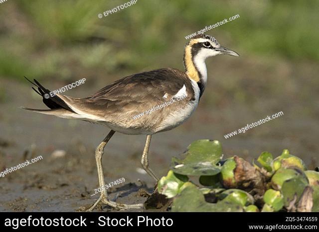 Pheasant-tailed jacana, Hydrophasianus chirurgus, Maguri Beel, Southeast of Dibru Saikhowa National Park, Tinsukia district, Upper Assam, India