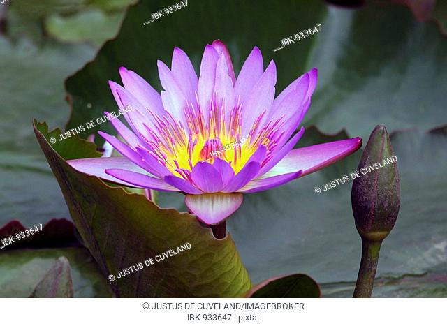 Blue Water-lily (Nymphaea stellata), bloom