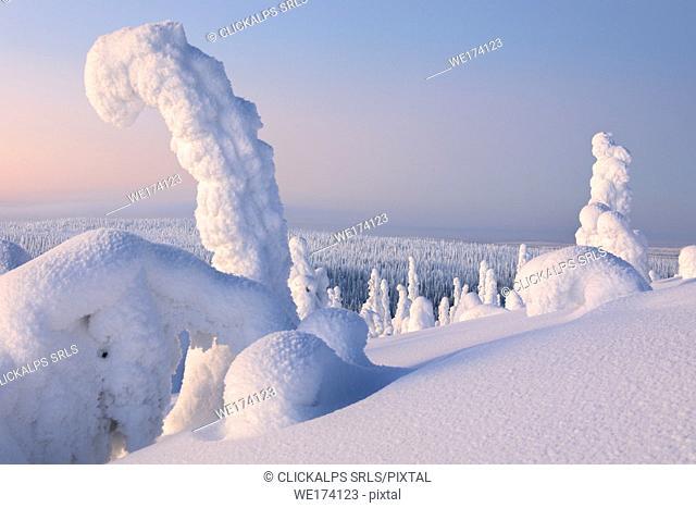 Sunrise on frozen trees, Riisitunturi National Park, Posio, Lapland, Finland