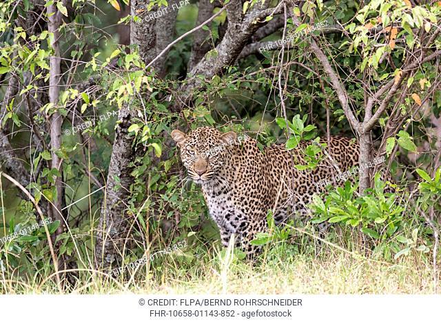 African Leopard (Panthera pardus pardus) adult, standing at edge of undergrowth, Maasai Mara National Reserve, Kenya, August