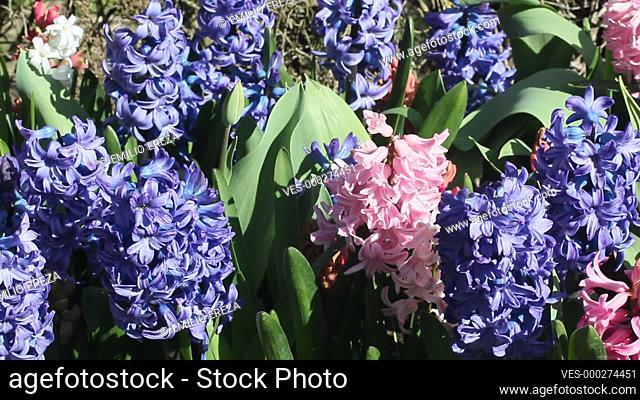 Varied hyacinths