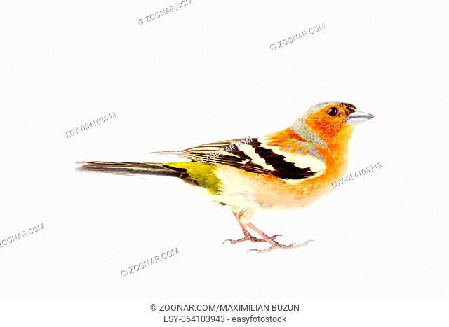 chaffinch (Fringilla coelebs) most common bird of Europe, forest bird, finches, thick beak, granivorous birds - male in bright breeding plumage on white...
