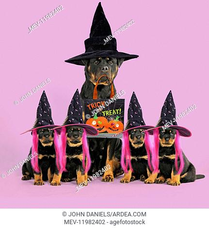 Rottweiler Dog sat with four rottweiler puppies wearing Witches hats carrying Halloween trick or treat bag