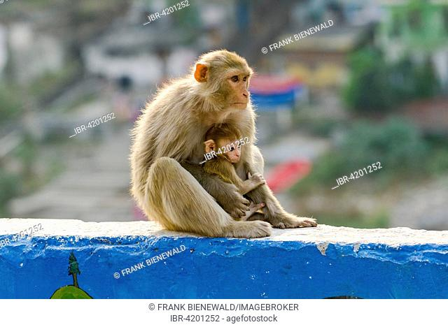 Female rhesus monkey (Macaca mulatta) with a baby is sitting on a wall high above the holy river Ganges, Rishikesh, Uttarakhand, India