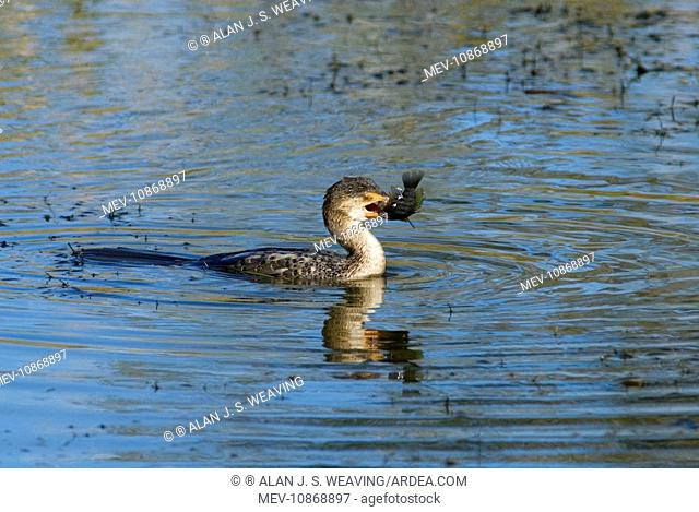 Reed / Long-tailed Cormorant - swallowing recently caught tilapia fish. (Phalacrocorax africanus). Andries Vosloo Kudu Reserve - nr Grahamstown - Eastern Cape -...