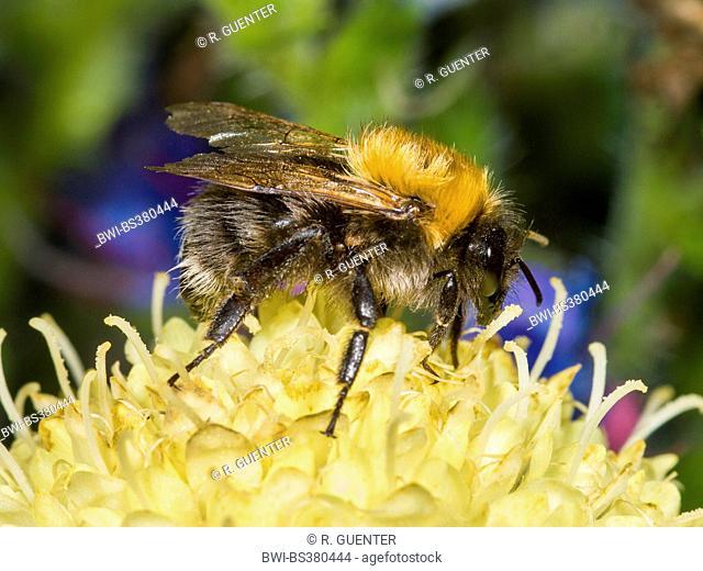 Tree Bumblebee, New Garden Bumblebee (Bombus hypnorum, Psithyrus hypnorum), foraging on Cephalaria gigantea, Germany