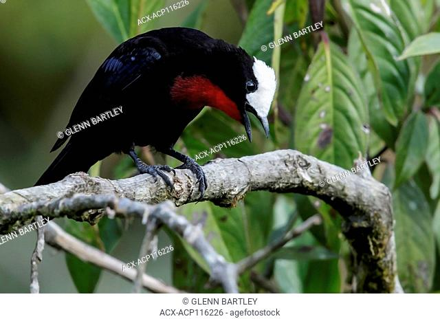 White-capped Tanager (Sericossypha albocristata) perched on a branch in the Andes Mountains of Colombia