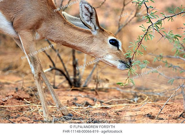Steenbok (Raphicerus campestris) adult female, close-up of head and front legs, browsing on leaves, Kalahari Gemsbok N.P