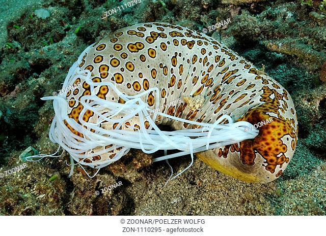 Bohadschia argus, Holothuria argus, Augenfleck-Seegurke in Abwehrstellung mit ausgestossenen Cuvierschen Schlaeuchen, Eyed Sea Cucumber with ejected Cuvierian...