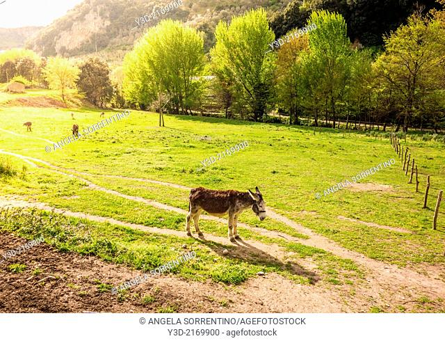 Donkey in a field at sunset, Italy