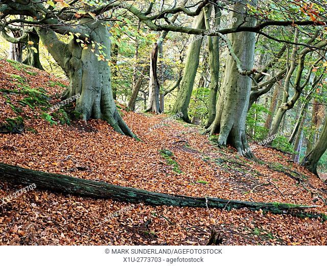 Path through Autumn Trees in Skrikes Wood near Pateley Bridge North Yorkshire England