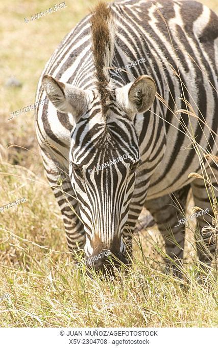 Burchell's Zebra, equus burchelli, Adult, Equus burcheli Equus quagga foreground. Ngorongoro Crater. Tanzania