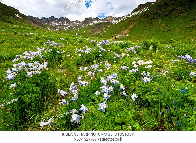 Blue columbine wildflowers, American Basin, San Juan Mountains range of the Rocky Mountains, Southwest Colorado USA