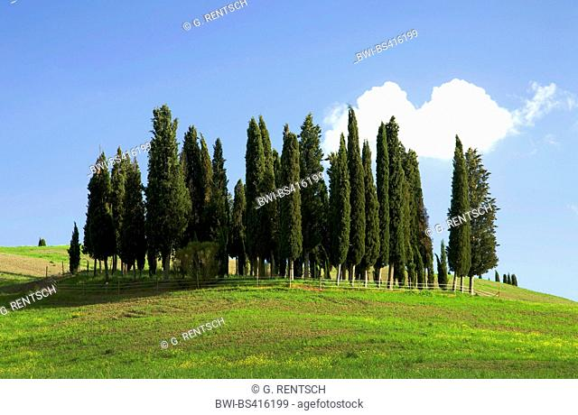 Italian cypress (Cupressus sempervirens), cypress grove near San Quirico d`Orcia, Italy, Tuscany, San Quirico d`Orcia