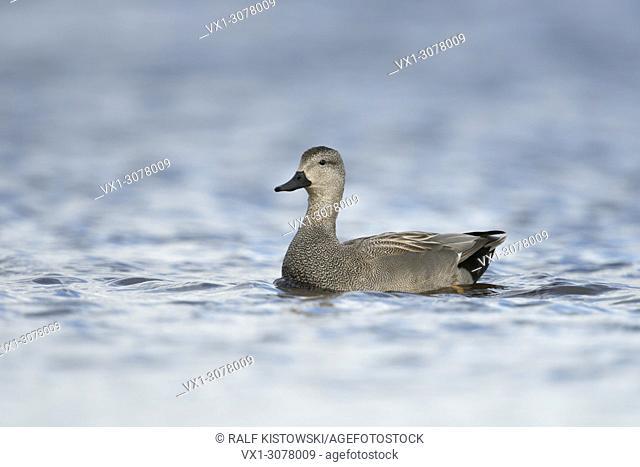 Gadwall Duck ( Anas strepera ) male, drake in breeding dress, performing courtship behaviour, wildlife, Europe.