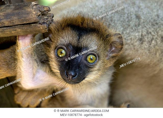 White-fronted Brown Lemur - three week old baby (Eulemur albifrons). Maroantsetra - north-eastern Madagascar. Endangered