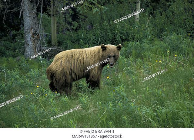 canada, yukon, grizzly