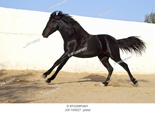 Arabian horse - galloping
