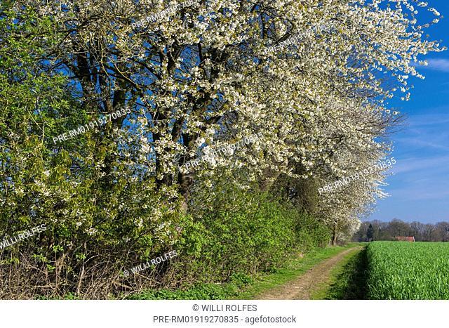 Blooming Cherry Tree at a hedge bank, Oldenburg Münsterland, Niedersachsen, Germany / Blühender Kirschbaum an eine Wallhecke, Oldenburger Münsterland