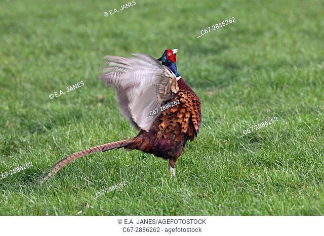 Pheasant male Phasianus colchicus calling