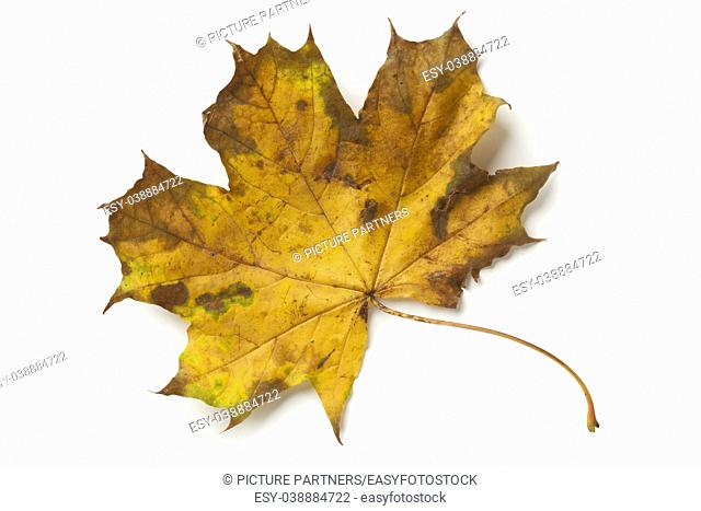 Single maple tree leaf in autumn on white background