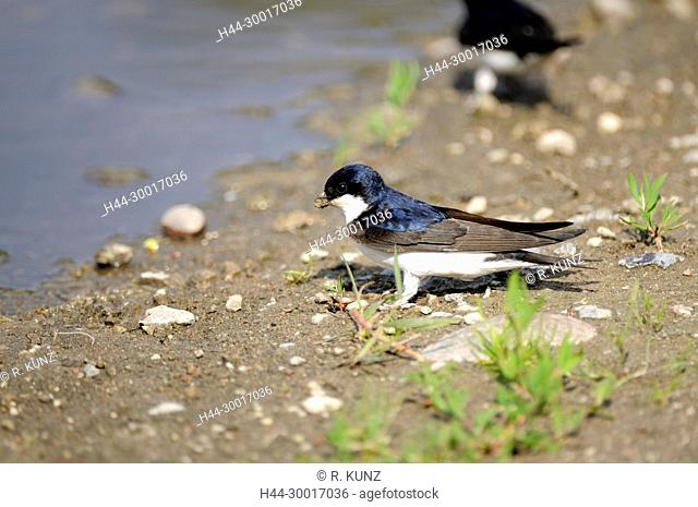 Common House Martin, Delichon urbicum, Hirundinidae, Swallow, collecting nesting material, Island of Rügen, Germany