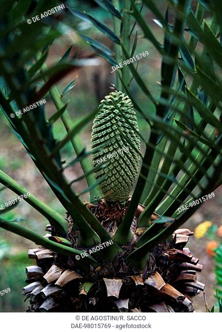 Altenstein's Bread Tree female cone (Encephalartos altensteinii), Zamiaceae