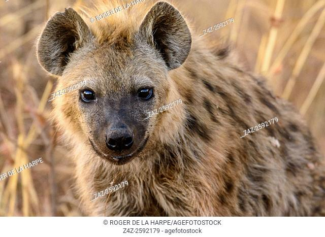 Spotted hyena or laughing hyena (Crocuta crocuta). Madikwe Game Reserve. North West Province. South Africa