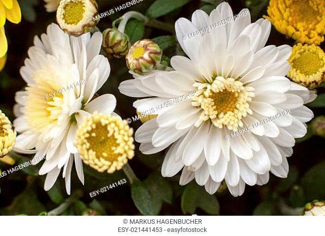 Chrysanthemen erwachen