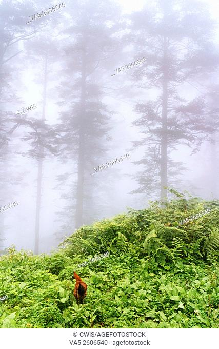 Emei Mountain, Sichuan province, China - The view at a mist fully forest, a rooster is looking around