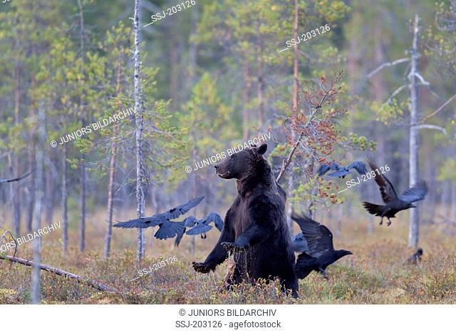 European Brown Bear (Ursus arctos) and flock of Common Ravens (Corvus corax) in a forest. Kainuu, Finland