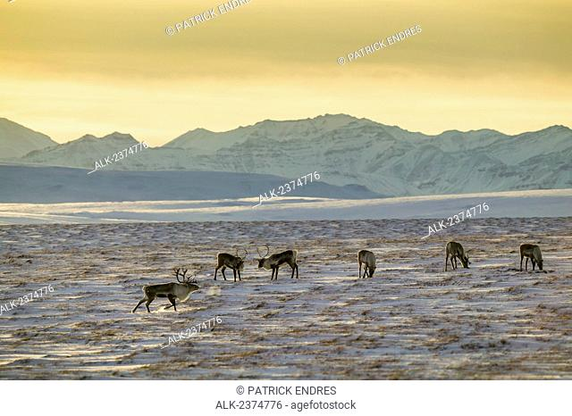 Caribou on the Arctic tundra with the Endicott mountains of the Brooks range in the distance; Alaska, United States of America