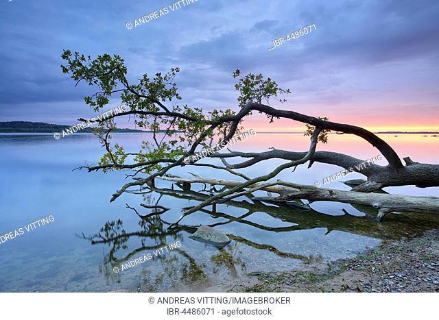 Trunk of an oak tree lying in water, Bay of Greifswald, at back Vilm, sunset, near Putbus, Rügen, Mecklenburg-Western Pomerania, Germany